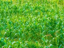 Αγρόκτημα καλαμποκιού Στοκ φωτογραφίες με δικαίωμα ελεύθερης χρήσης