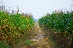 Αγρόκτημα καλαμποκιού Στοκ Εικόνες