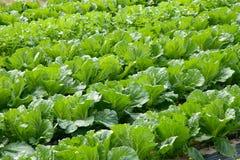 Αγρόκτημα κινεζικών λάχανων Στοκ Εικόνες