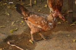 αγρόκτημα κοτόπουλου στοκ φωτογραφίες με δικαίωμα ελεύθερης χρήσης
