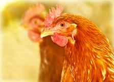 αγρόκτημα κοτόπουλου στοκ εικόνες