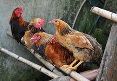 αγρόκτημα κοτόπουλων Στοκ φωτογραφία με δικαίωμα ελεύθερης χρήσης
