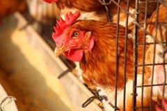 Αγρόκτημα κοτόπουλου αυγών Στοκ Εικόνα