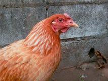 αγρόκτημα κοτόπουλου που ενσωματώνεται κοντά στο ρεύμα πουλερικών Στοκ εικόνες με δικαίωμα ελεύθερης χρήσης