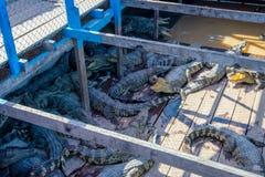 Αγρόκτημα κροκοδείλων σε μια βάρκα Στοκ Εικόνες