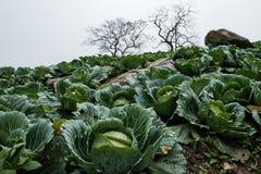Αγρόκτημα λάχανων με τα ξηρά δέντρα στοκ φωτογραφίες με δικαίωμα ελεύθερης χρήσης