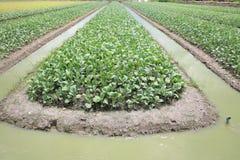 Αγρόκτημα λάχανων με το ύδωρ στην τάφρο Στοκ Εικόνα