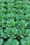 αγρόκτημα λάχανων Στοκ Εικόνα