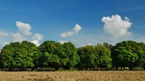 Αγρόκτημα μάγκο ή τομέας μάγκο με το μπλε ουρανό, γεωργική έννοια απόθεμα βίντεο