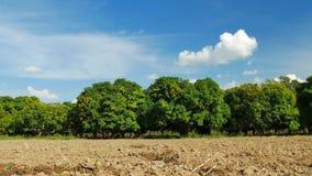 Αγρόκτημα μάγκο ή τομέας μάγκο με το μπλε ουρανό, γεωργική έννοια φιλμ μικρού μήκους