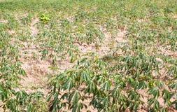 Αγρόκτημα μανιόκων στην τροπική ζώνη, Ταϊλάνδη Στοκ Εικόνες