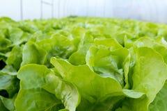 Αγρόκτημα μαρουλιού Πράσινες εγκαταστάσεις μαρουλιού στην αύξηση στον τομέα Στοκ εικόνες με δικαίωμα ελεύθερης χρήσης