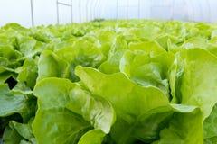 Αγρόκτημα μαρουλιού Πράσινες εγκαταστάσεις μαρουλιού στην αύξηση στον τομέα Στοκ Εικόνα