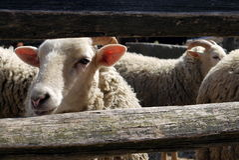 Αγρόκτημα: μερινός πρόβατα στο ναυπηγείο Στοκ Εικόνα