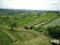 Αγρόκτημα Μπαλί Ινδονησία ρυζιού Στοκ Εικόνες