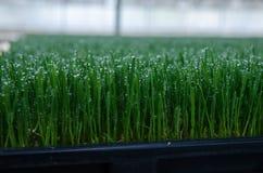 Αγρόκτημα νεαρών βλαστών Wheatgrass Στοκ εικόνες με δικαίωμα ελεύθερης χρήσης