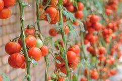 Αγρόκτημα ντοματών Στοκ φωτογραφία με δικαίωμα ελεύθερης χρήσης