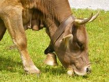 αγρόκτημα οργανικός Ελβετός αγελάδων στοκ φωτογραφίες με δικαίωμα ελεύθερης χρήσης