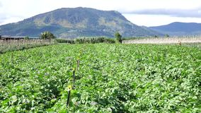Αγρόκτημα πατατών Don Duong στην περιοχή, πόλη DA Lat, επαρχία ήχων καμπάνας Lam, Βιετνάμ απόθεμα βίντεο