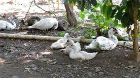 Αγρόκτημα πουλιών παπιών απόθεμα βίντεο