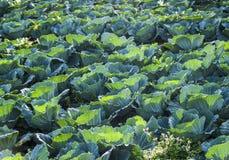 Αγρόκτημα πράσινων λάχανων Στοκ Φωτογραφίες