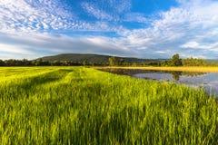 Αγρόκτημα ρυζιού στο ηλιοβασίλεμα Στοκ φωτογραφίες με δικαίωμα ελεύθερης χρήσης