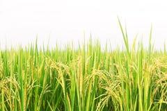 Αγρόκτημα ρυζιού της Jasmine στο άσπρο υπόβαθρο Στοκ εικόνα με δικαίωμα ελεύθερης χρήσης