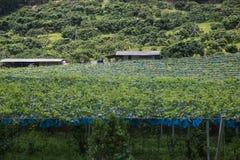αγρόκτημα σταφυλιών Στοκ εικόνα με δικαίωμα ελεύθερης χρήσης