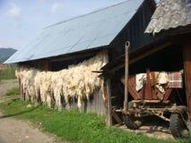 Αγρόκτημα στη Ρουμανία με το άσπρο μαλλί του προβάτου που κρεμά στοκ φωτογραφίες