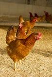 Αγρόκτημα της κότας Στοκ εικόνα με δικαίωμα ελεύθερης χρήσης