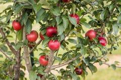 Αγρόκτημα της Apple Στοκ εικόνα με δικαίωμα ελεύθερης χρήσης