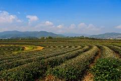 Αγρόκτημα τσαγιού στοκ εικόνα