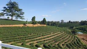 Αγρόκτημα τσαγιού στοκ φωτογραφία με δικαίωμα ελεύθερης χρήσης