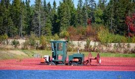 Αγρόκτημα των βακκίνιων Στοκ Φωτογραφίες