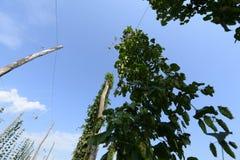 Αγρόκτημα λυκίσκων Στοκ Εικόνες