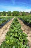 Αγρόκτημα φραουλών Στοκ εικόνα με δικαίωμα ελεύθερης χρήσης
