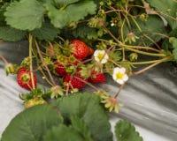 Αγρόκτημα φραουλών με τις εγκαταστάσεις και την ασημένια ταινία Στοκ Εικόνες