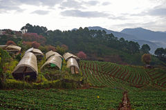 Αγρόκτημα φραουλών σε Doi angkhang, επαρχία Chiangmai Στοκ εικόνα με δικαίωμα ελεύθερης χρήσης