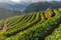 Αγρόκτημα φραουλών σε Doi Angkhang, Chiangmai, Ταϊλάνδη Στοκ Φωτογραφίες