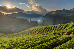 Αγρόκτημα φραουλών σε Doi Angkhang, Chiangmai, Ταϊλάνδη Στοκ εικόνα με δικαίωμα ελεύθερης χρήσης