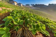 Αγρόκτημα φραουλών σε Doi Angkhang, Chiangmai Στοκ Φωτογραφίες