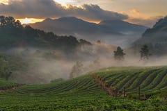 Αγρόκτημα φραουλών σε Doi Angkhang, Chiangmai Στοκ εικόνες με δικαίωμα ελεύθερης χρήσης