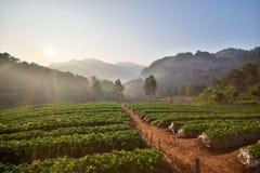 Αγρόκτημα φραουλών το πρωί στο ANG Khang, Chiang Mai Doi Στοκ Φωτογραφία