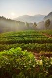 Αγρόκτημα φραουλών το πρωί στο ANG Khang, Chiang Mai Doi Στοκ Εικόνα