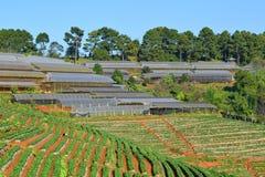 Αγρόκτημα φραουλών Στοκ Εικόνες