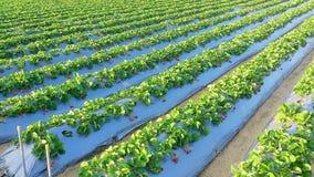 Αγρόκτημα φραουλών Στοκ Φωτογραφίες