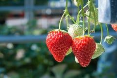 Αγρόκτημα φραουλών Στοκ Εικόνα