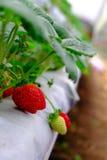 Αγρόκτημα φραουλών Στοκ Φωτογραφία