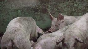 Αγρόκτημα χοίρων με πολλούς χοίρους απόθεμα βίντεο