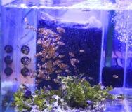 Αγρόκτημα Clownfish (Anemonefish) Στοκ φωτογραφίες με δικαίωμα ελεύθερης χρήσης